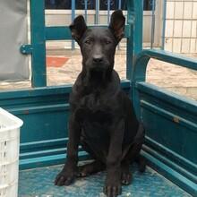护卫黑狼犬价格图片大骨架黑狼犬多少钱小黑狼犬训练视频图片