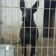黑狼犬种公多少钱一只黑狼犬骨架视频小黑狼犬价格怎么卖图片