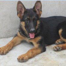 大骨架牧羊犬多少錢德國牧羊犬幼犬圖片半年德國牧羊犬訓練視頻圖片