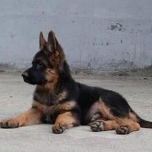 成年黑狼犬哪里有卖的出售小黑狼犬图片黑狼犬小狗多少钱图片
