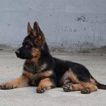 出售4個月牧羊犬圖片德國牧羊犬性格溫順嗎哪里有大型牧羊犬養殖場圖片