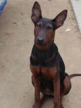 莱州红犬适合打猎吗成年黑狼犬多少钱哪里有莱州红犬出售图片