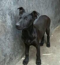 黑狼犬幼犬价格贵吗小黑狼犬几个月换牙成年黑狼犬多少钱图片