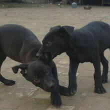 黑狼犬的性格温顺吗小黑狼犬多少钱一只黑狼犬幼犬好喂养吗图片