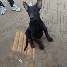 黑狼犬幼犬价格便宜吗成年黑狼犬图片视频哪里有黑狼犬养殖场图片