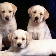 成年拉布拉多犬图片拉布拉多犬打架视频出售小拉布拉多犬价格图片