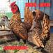 現在一只婆羅門雞苗婆羅門雞價格