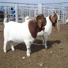 養殖50只波爾山羊需要多大的投資波爾山羊養殖圖片