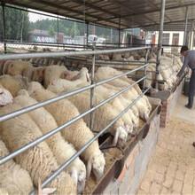 养殖50只小尾寒羊母羊一年有多大的利润图片