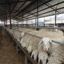 一只小尾寒羊养殖的成本图片