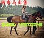 哪里出售骑乘马骑乘马批发骑乘马销售卖骑乘马骑乘马价格