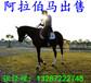 矮馬價格蒙古馬價格馬多少錢一匹矮腳馬溫順的矮馬寵物矮馬