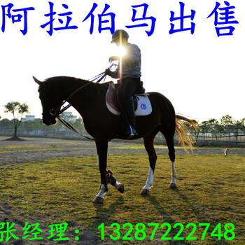喂养一匹骑乘马需要给他吃什么草料才能长得好