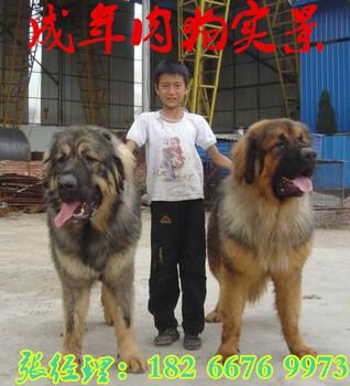 运城附近哪里有养殖肉狗的改良肉狗价格?