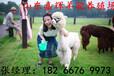 节日演员羊驼萌宠房地产开盘羊驼活体租赁特种养殖羊驼前景
