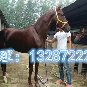 养马驯养基地出售小矮马纯血马国产伊犁马跑马观赏马