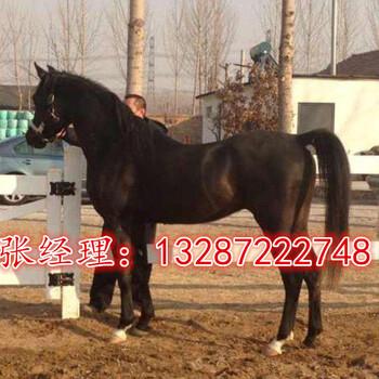 骑乘马出售哪里有养马场出售休闲骑乘马一匹骑乘马多少钱