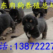 肉狗养殖技术肉狗养殖方法肉狗苗出售肉狗饲养技术图片