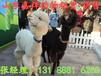 海狮表演出租企鹅租赁展览马戏团表演租赁羊驼出租租赁