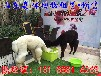 成年羊駝小羊駝活體養殖出售觀賞羊駝活體租賃雙峰駱駝活體出售