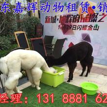 羊驼多少钱一只羊驼养殖租赁羊驼观赏用都有哪些动物图片