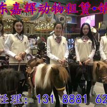 動物展覽、羊駝租賃、羊駝出租、羊駝出售價格圖片