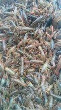 小龙虾种苗批发市场图片