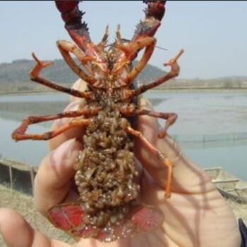 小龙虾苗价格
