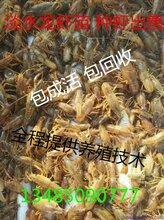 淡水小龍蝦養殖淡水小龍蝦苗批發圖片