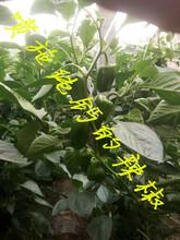 辣椒补钙用什么钙肥纯钙叶面喷施直接吸收预防辣椒脐腐病