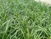 宁夏吴忠高端蔬菜叶面肥昆仑风营养杀菌套餐防治韭菜干尖黄叶