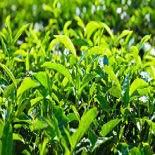 植物生長精,茶葉快速催芽劑,快速打破休眠,茶葉專用葉面肥