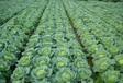 白菜專用葉面肥甘藍包心快長得好挑戰王追肥精