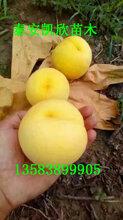 黄金蜜6号黄桃苗价格黄金蜜6号桃品种介绍