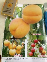 黄金蜜0号桃苗品种简介黄金蜜0号桃苗多少钱