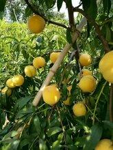 仲秋黄金蜜桃苗一棵价仲秋黄金蜜桃树苗特点