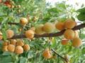 串串香杏苗品种报价串串香杏苗今年价格图片