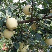 维纳斯黄金苹果苗单价矮化维纳斯黄金苹果苗报价
