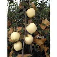 维纳斯黄金苹果苗基地维纳斯黄金苹果苗价格