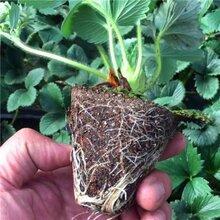 小白草莓苗特點簡介小白草莓苗每棵價格