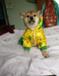 日本柴犬幼犬一窝特价出售中