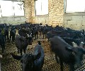 吉林松原肉羊多少钱一斤