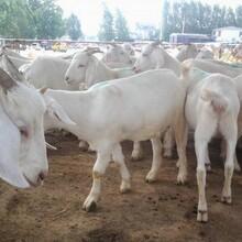 什么品種的奶山羊產奶量多哪里賣紅鹿奶山羊羊苗白山羊羊仔圖片