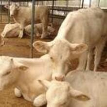西門塔爾牛養殖場純種西門塔爾牛全國市場價格圖片