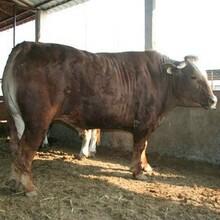 純種牛西門塔爾牛改良懷孕母牛全國圖片
