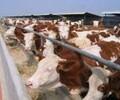 西门塔尔肉牛犊多少钱一头