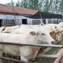 甘肅蘭州那里出售肉牛苗現在養殖肉牛夏洛萊牛養殖技術圖片