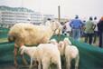江西奶山羊多少錢一只黑山羊直銷價格波爾山羊多少錢一只純種小尾寒羊