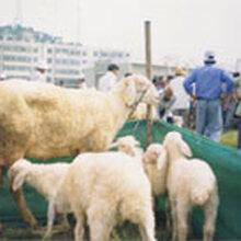 湖羊青年种公羊肉羊活羊小尾寒羊出售白山羊苗批发包邮图片