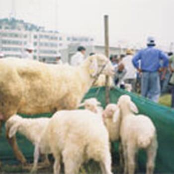 绒山羊活体包邮纯种黑山羊羊苗低价出售优质肉羊波尔山羊种苗